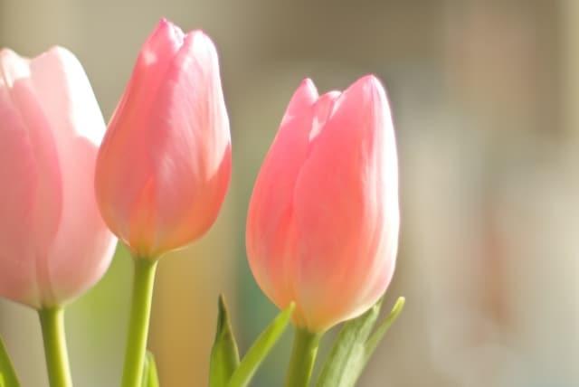 チューリップの色別花言葉のイメージ